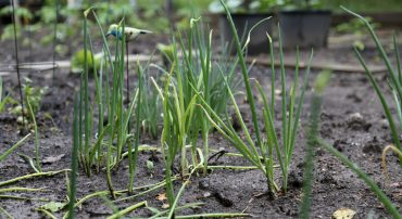 onions growing in a sensory garden