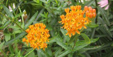 milkweed blooms in a butterfly garden