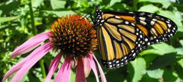 Monarch butterfly on a purple coneflower