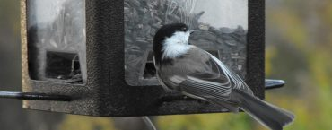 Chickadee perched on a feeder for birds