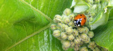 Ladybug on a milkweed plant